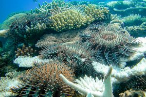 Aggregation of crown-of-thorns starfish on the back of Keeper Reef.